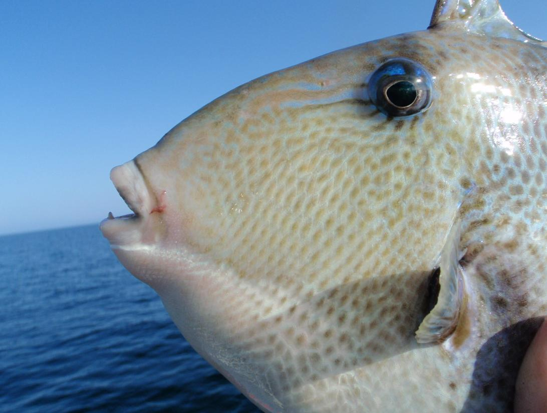 how to catch trigger fish in the destin florida area