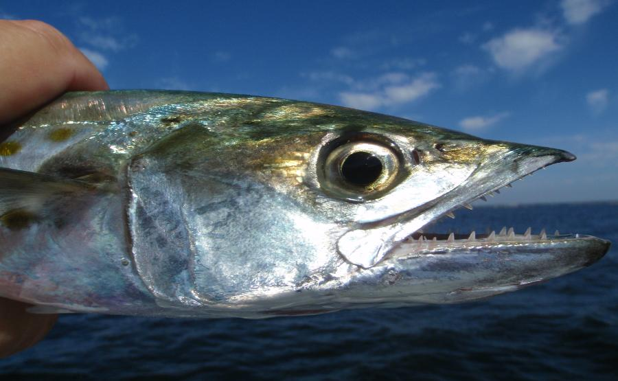 Image gallery macro king mackerel for Spanish mackerel fish